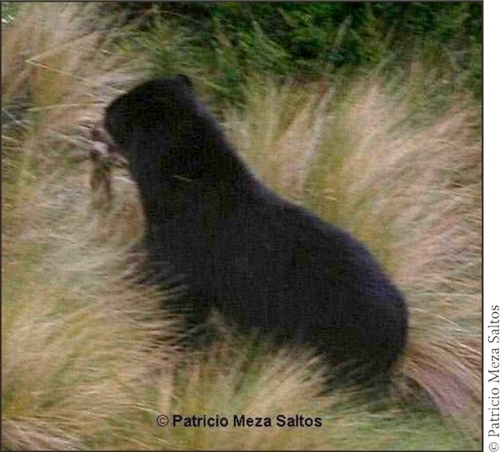 Urso de óculos VS Puma da Patagônia Andean%2520bear%2520catches%2520a%2520rab%20bit
