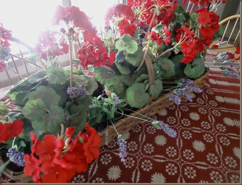 Geraniums with lavendar