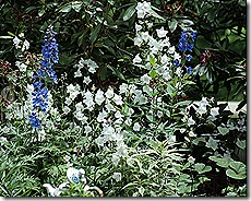 Delphinium_BlueBrid_Bellflowers