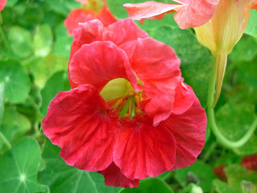 http://groundtoground.org Nasturtium flower