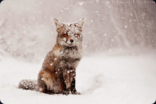 foxes-wildlife01