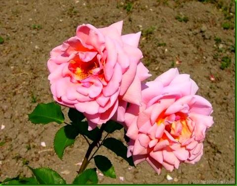 Rosa Wellworth