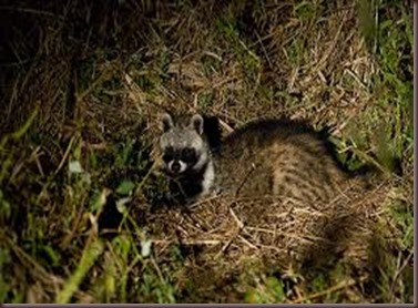Amazing Pictures of Animals, photo, Nature exotic, funny, incredibel, Zoo, African civet, mammals, Alex (7)