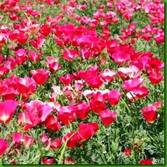 California poppies carmine