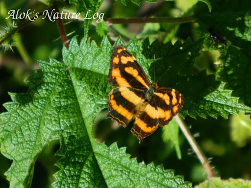 Nymphalidae%25252c%252520symbrenthia%252520hippoclus%25252c%252520common%252520jester