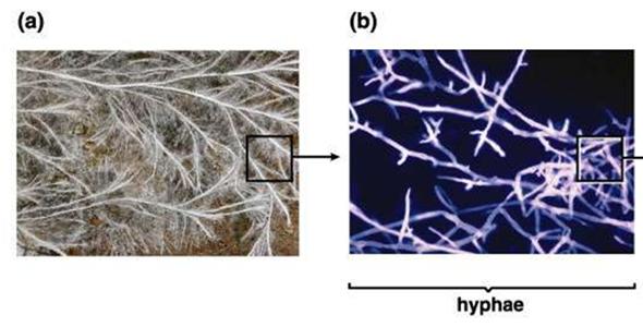 Fungal Hyphae
