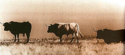 Los toros de Palha en el campo 001