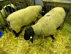 2015.02.26-023 mouton Suffolk