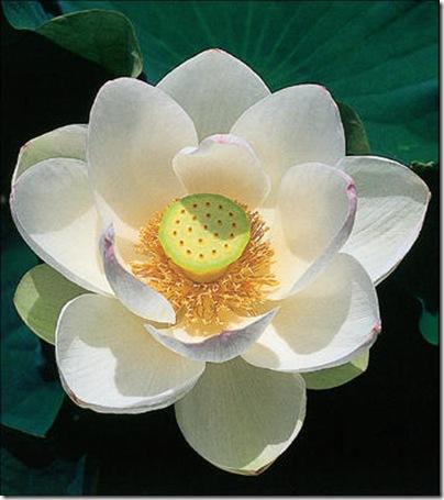 flor_de_lotus_imagelarge