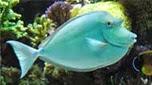 Nouvelle-Calédonie nason à éperons bleus