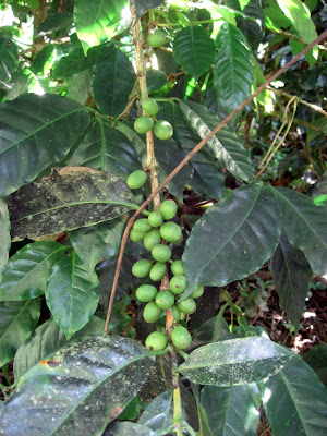 more coffee beans