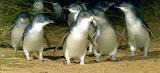 The Penguin Parade at Phillip Island - Cowes, Australia