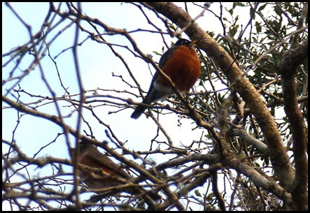 01c - Early Morning Walk - Large Puffed Up Robin