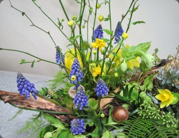 muscari woodland-with-muscari-hellebore-and-mini-daffodils-Françoise-Weeks