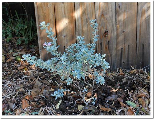 121007_Leucophyllum-frutescens-compacta2