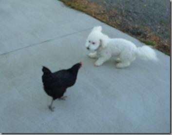 chicks 035