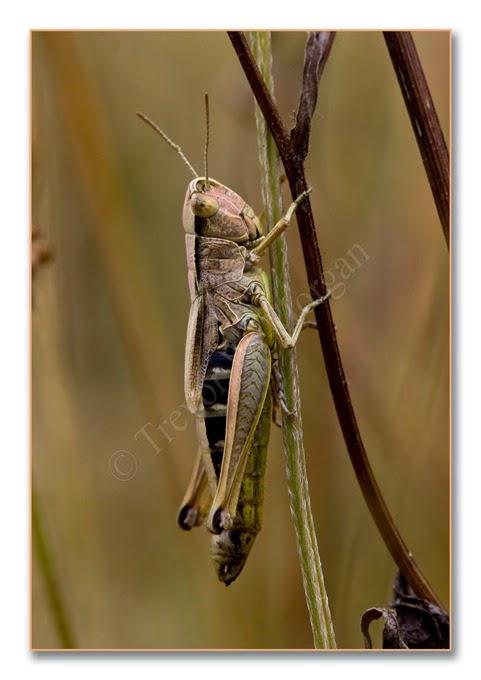 Grasshopper 8 m-n