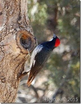 Madera Canyon Acorn Woodpecker 1