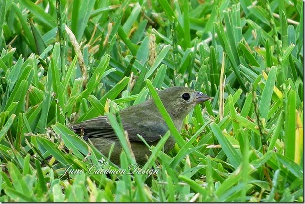 Female_Painted_Bunting3