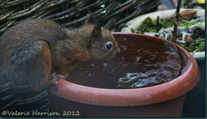 thirsty-squirrel