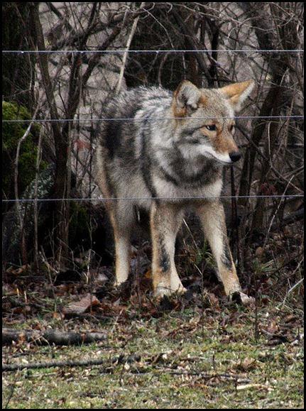 Coyote-2-12-1--2012
