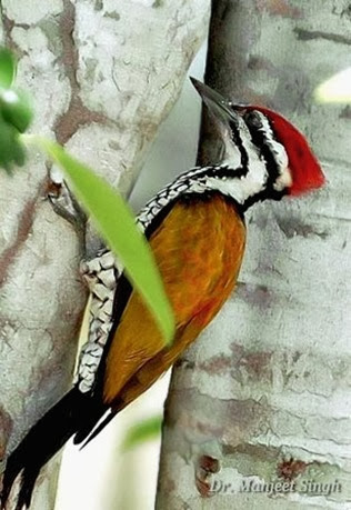 Amazing Pictures of Animals, Photo, Nature, Incredibel, Funny, Zoo, Greater Flameback, Chrysocolaptes guttacristatus, Bird,Alex (1)