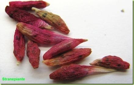 Epithelantha dickinsionae frutti secchi