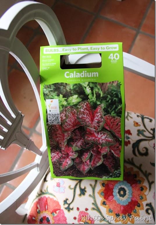 Spring Planting-Caladiums