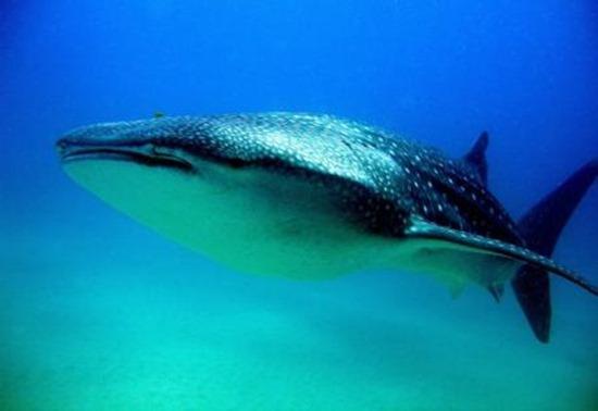 tiburon-fauna