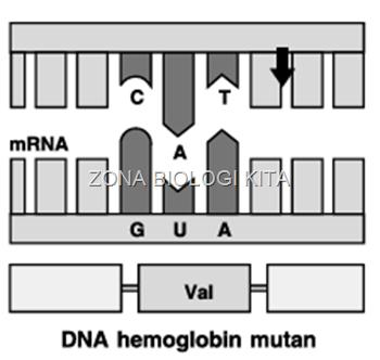 DNA Hemoglobin mutan