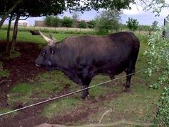 2007.05.26-029 aurochs