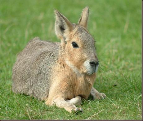 Amazing Animals Pictures Patagonian mara  (8)