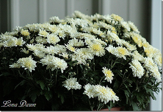 Chysanthemums2_White
