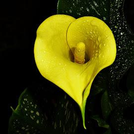 Yellow Charm by Vanalapha Chuasritrakul - Flowers Single Flower