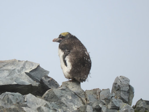A lonely Macaroni Penguin mixed in with Half Moon Island's Chinstraps.