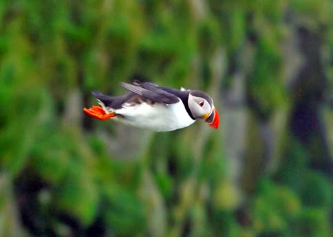 Amazing Pictures of Animals, Photo, Nature, Incredibel, Funny, Zoo, Puffins, Bird, Aves, Alex (23)