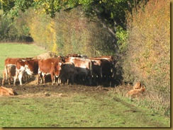 IMG_0040_ Cows sunbathing
