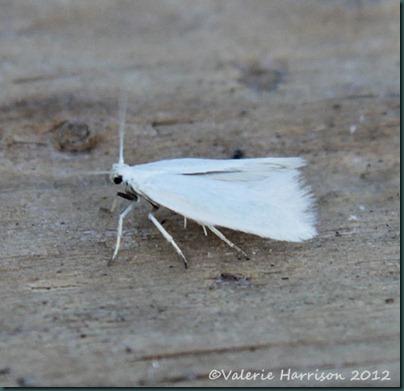 Elachista-argentella