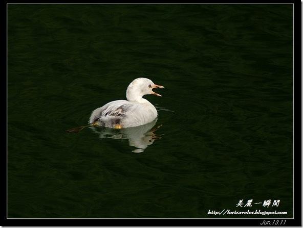 小鷿鷈白子(2011-06-12鯉魚潭)9292