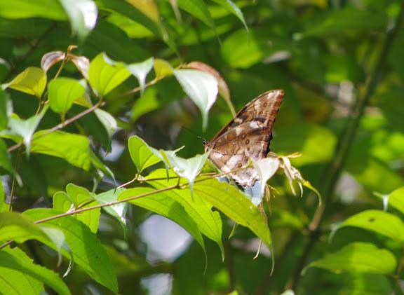 Morpho (Iphimedeia) telemachus telemachus (L., 1758). Carbets de Coralie (Crique Yaoni), 2 novembre 2012. Photo : J.-M. Gayman