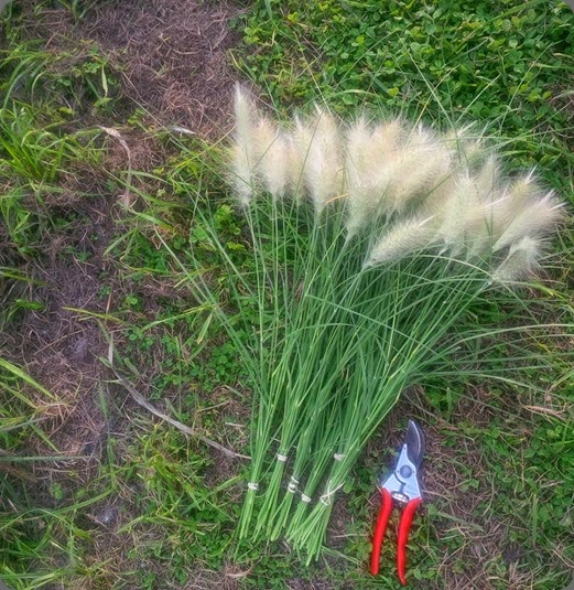 varieties grasses pennisetum villosum1238363_505674499506931_99425960_n bathtub gardens