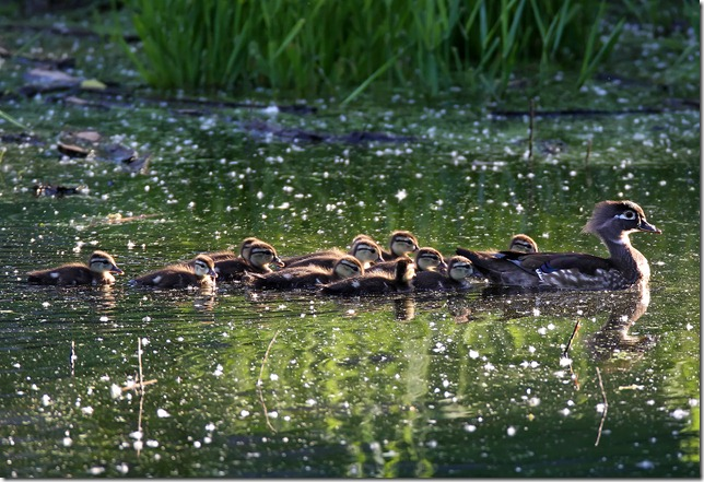 Wood Duck Brood (small)