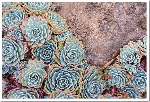 120929_SucculentGardens_Echeveria-imbricata