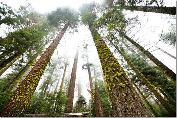 imagens das sequois do Parque Nacional Redwood (5)