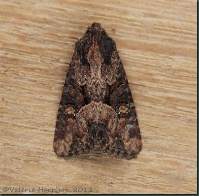 common lesser common rustic 1