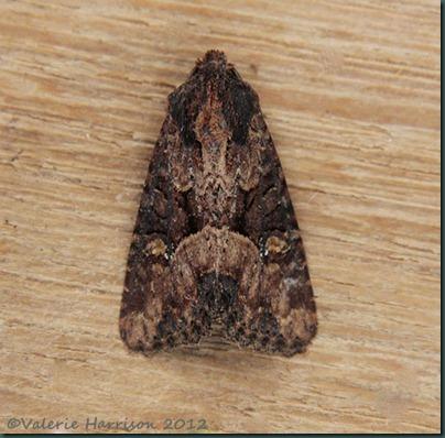 common lesser common rustic 1