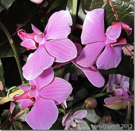 FPC_Orchid_Lavender