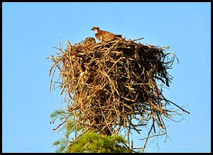 09 - second osprey nest - mom returns to feed the chicks