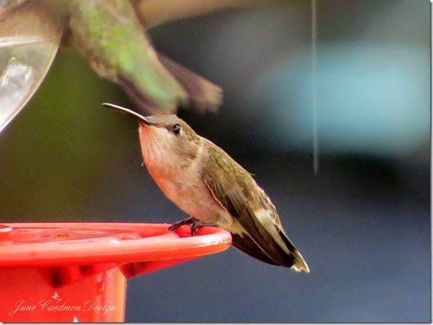 HummingbirdAttack