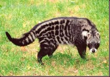Amazing Pictures of Animals, photo, Nature exotic, funny, incredibel, Zoo, African civet, mammals, Alex (3)